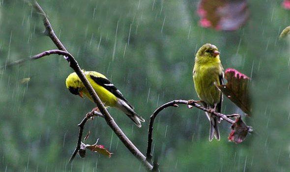 المطر والعصافير طقس