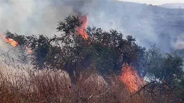 مستوطنون متطرفون يحرقون مئات أشجار الزيتون