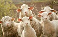 المحكمة تحكمُ على مُربي مواشي لأنه ضرب خروفين في الوجه