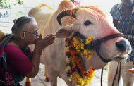 الهندوس: بول البقر علاج لفيروس كورونا