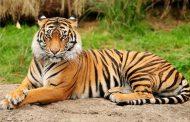 إصابة نمر في حديقة حيوانات بفيروس كورونا