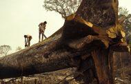 أرقام مُقلقة عن قطع الأشجار في الأمازون