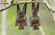 الخفافيش بعد ولادتها تناغي كالرضع من البشر